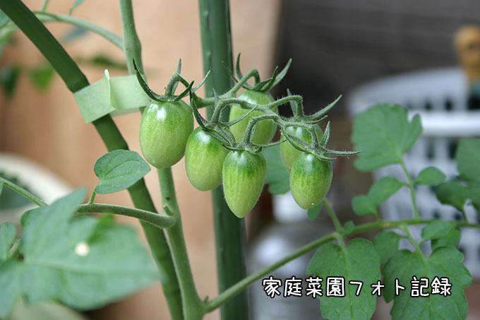 ミニトマト結実