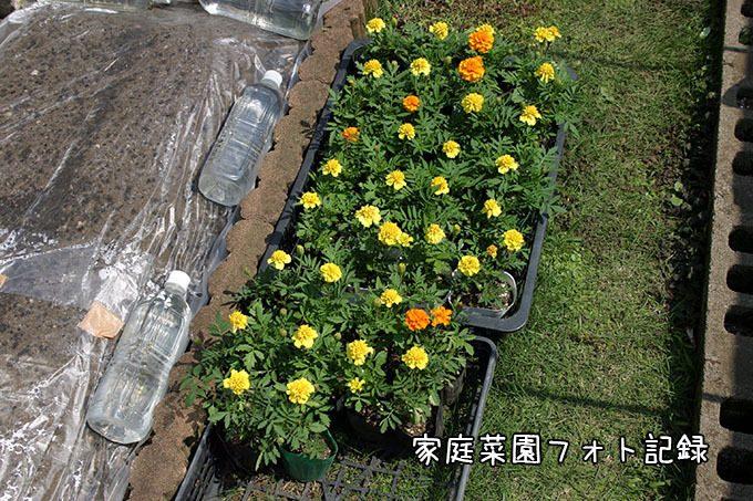 マリーゴールドの苗花が咲いた
