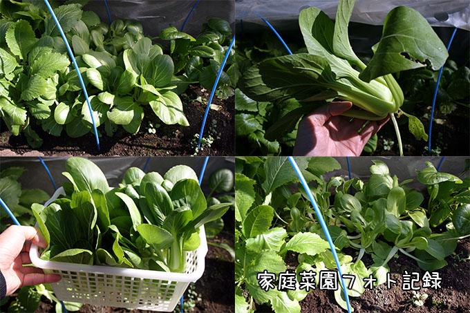トンネル栽培の青梗菜収穫
