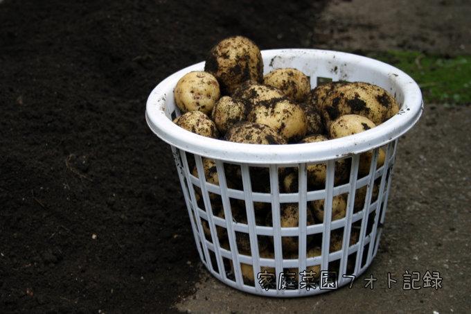 キタアカリ収穫