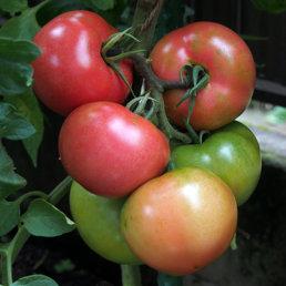 トマト鈴なり